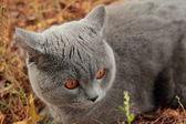 British kitten in autumn park — Stock Photo