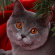 British cat on Merry Christmas — Stock Photo