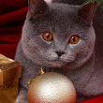 British cat wishing Merry Christmas — Stock Photo