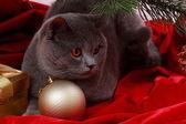 Bel gatto britannico — Foto Stock