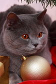 British cat wishing Merry Christmas — Stock Photo