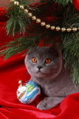 Chat Britannique et arbre de Noël — Photo