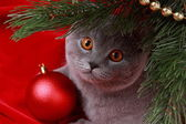 British cat and christmas tree — Stock Photo