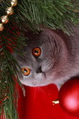 British cat and christmas tree — Zdjęcie stockowe