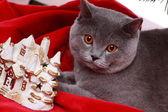 Gray British cat — Stock Photo