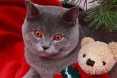 British cat and teddy bear — Stock Photo
