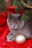 Lindo gato británico gris — Foto de Stock