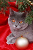 Nice gray British cat — Stock Photo