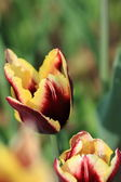 Tulips in the garden — Foto de Stock