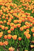 Tulipani rossi e arancioni in giardino — Foto Stock