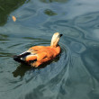 Постер, плакат: Lovely duck in the Moscow zoo Russia