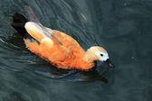 Lovely duck — Stock Photo