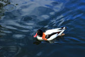 Lovely duck — Stock fotografie