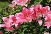 Ogród lilly — Zdjęcie stockowe