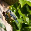 Blue tit  by a nesting box - Stock Photo
