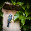 Stock Photo: Blue tit by a nesting box