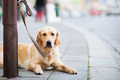 Cute dog waiting patiently for his master on a city street — Stock Photo
