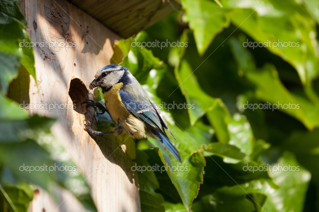 Blue tit (Cyanistes caeruleus) by a nesting box — Stock Photo #12428248