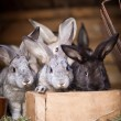 Young rabbits popping out of a hutch (European Rabbit - Oryctola — Stock Photo #12663209