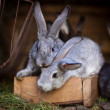 Young rabbits popping out of a hutch (European Rabbit - Oryctola — Stockfoto #12663247