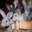 Young rabbits popping out of a hutch (European Rabbit - Oryctola — Stockfoto #12663287