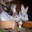 Young rabbits popping out of a hutch (European Rabbit - Oryctola — Stock Photo