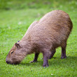 Capybara (Hydrochoerus hydrochaeris) grazing on fresh green gras — Stock Photo #12663810