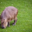 Capybara (Hydrochoerus hydrochaeris) grazing on fresh green gras — Stock Photo #12663834