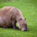 Capybara (Hydrochoerus hydrochaeris) grazing on fresh green gras — Stock Photo #12663836