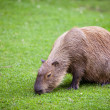 Capybara (Hydrochoerus hydrochaeris) grazing on fresh green gras — Stock Photo