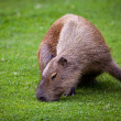 Capybara (Hydrochoerus hydrochaeris) grazing on fresh green gras — Stock Photo #12663839