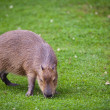 Capybara (Hydrochoerus hydrochaeris) grazing on fresh green gras — Stock Photo #12663841