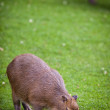 Capybara (Hydrochoerus hydrochaeris) grazing on fresh green gras — Stock Photo #12663869