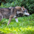 Gray,Eurasian wolf (Canis lupus) — Stock Photo