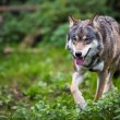 Gray,Eurasian wolf (Canis lupus) — Stock Photo #17128111