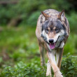Stock Photo: Gray,Eurasian wolf (Canis lupus)