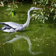 Grey Heron (Ardea cinerea) - Foto Stock
