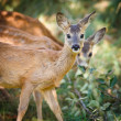 Young Roebuck (capreolus capreolus) - Stock Photo