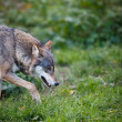 Gray,Eurasian wolf (Canis lupus) — Stock Photo #17128237
