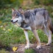 Gray,Eurasian wolf (Canis lupus) — Stock Photo #17128243