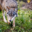 Gray,Eurasian wolf (Canis lupus) — Stock Photo #17128245