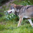 Gray,Eurasian wolf (Canis lupus) — Stock Photo #17128249