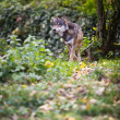 Gray,Eurasian wolf (Canis lupus) - Stock Photo
