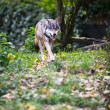 Gray,Eurasian wolf (Canis lupus) — Stock Photo #17128253