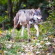 Gray,Eurasian wolf (Canis lupus) — Stock Photo #17128255