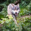 Gray,Eurasian wolf (Canis lupus) — Stock Photo #17128259