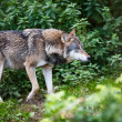 Gray Eurasiwolf (Canis lupus) — Stock Photo #17128273