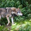 Stock Photo: Gray Eurasiwolf (Canis lupus)