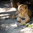 Cute lion cub - Stock Photo