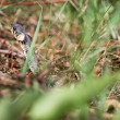Grass snake (Aka Water snake. Natrix Natrix) - Stock Photo